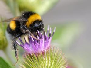 Bumblebee_on_a_flower