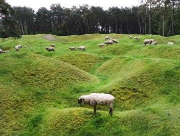 vimy-sheep