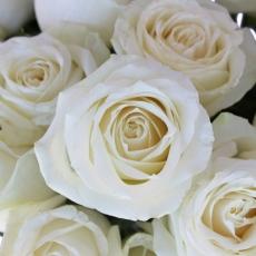 Avalance-White-Rose-Close-500_39e2bbb7